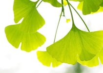 Ginkgo Biloba Health Benefits, Use & Dosage
